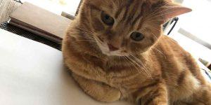 愛猫 ごんざぶろう